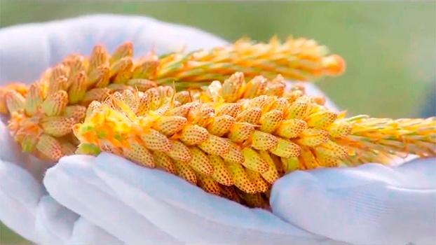 сосновая пыльца, пыльца сосны, новая эра, гочьжень, new era,
