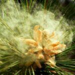 сосновая пыльца новая эра, сосновая пыльца